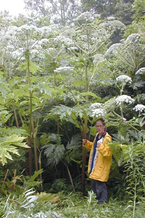 Giant Hogweed can grow up to 5 metres in height